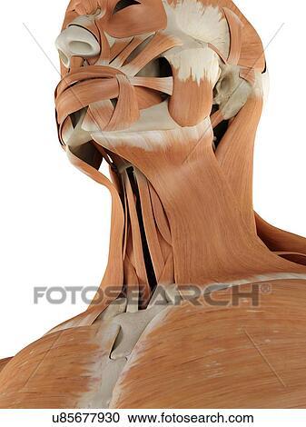 Stock Illustrationen - menschlicher hals, muskeln, kunstwerk ...
