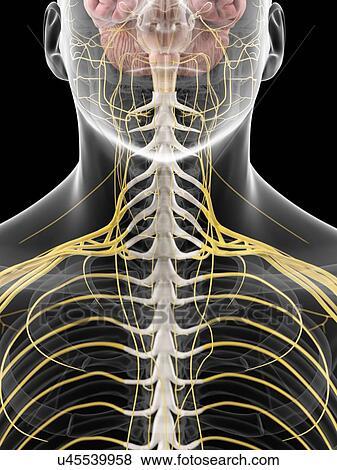 Stock Illustration - menschlicher hals, nerven, kunstwerk u45539958 ...