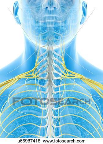 Stock Illustration - menschlicher hals, nerven, kunstwerk u66987418 ...