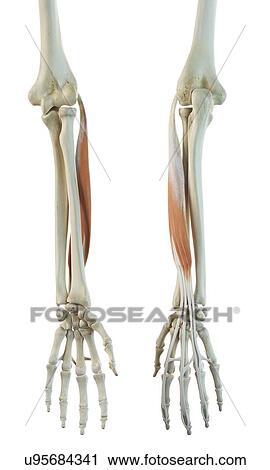 Clipart - muscle bras f449e5d28d3
