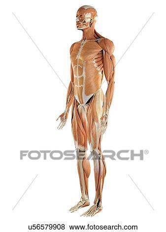 Stock Illustration of Musculoskeletal system, artwork u56579908 ...
