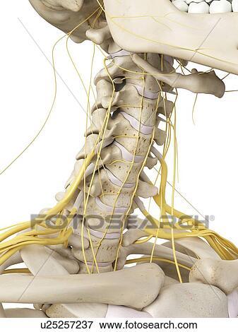 Stock Illustration of Neck bones and nerves, artwork u25257237 ...