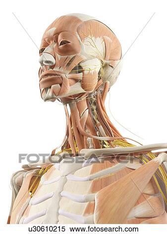 Stock Illustration of Neck muscles and nerves, artwork u30610215 ...