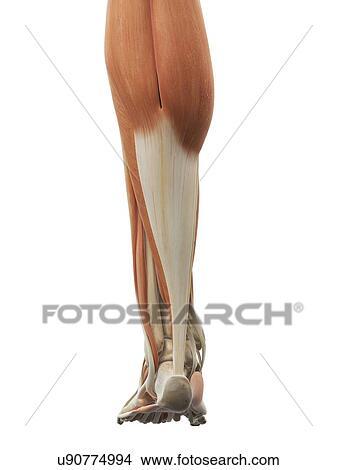 Dibujos - pierna, y, pie, músculos, ilustraciones u90774994 - Buscar ...