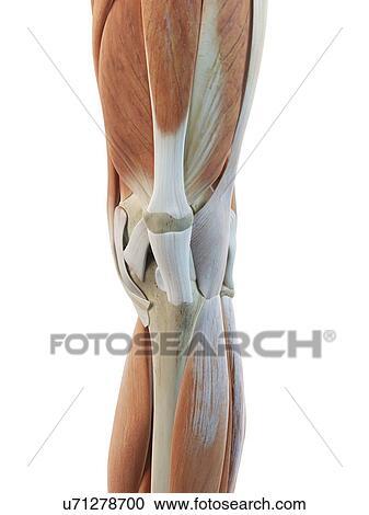 Colección de ilustraciones - rodilla humana, músculos, ilustraciones ...