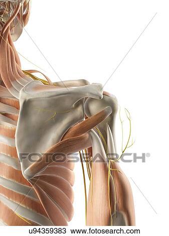 Zeichnung - schulter, muskeln, und, nerven, kunstwerk u94359383 ...