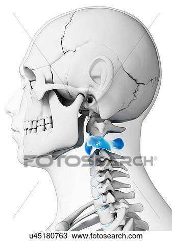 Drawing of Human neck bones, artwork u45180763 - Search Clipart ...