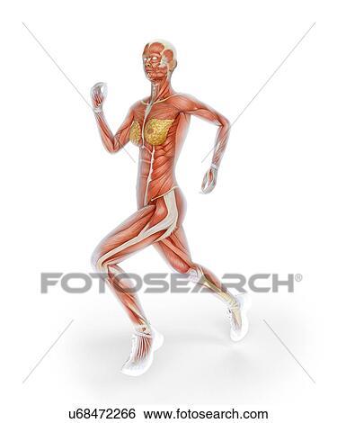 Colección de ilustraciones - sistema muscular, de, corredor ...