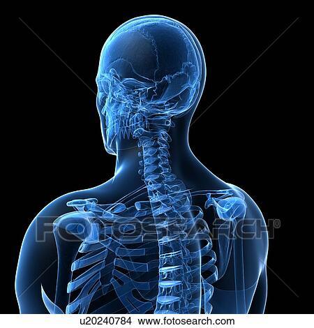 Dibujos - espina dorsal humana, ilustraciones u20240784 - Buscar ...