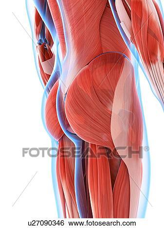 Stock Illustration of Human buttock muscles, artwork u27090346 ...