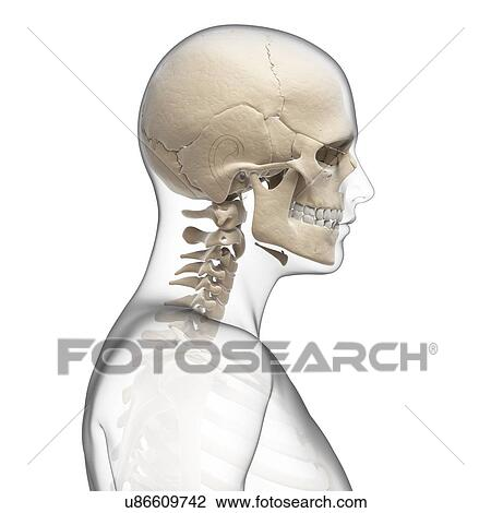 Clip Art of Human skull and neck bones, artwork u86609742 - Search ...