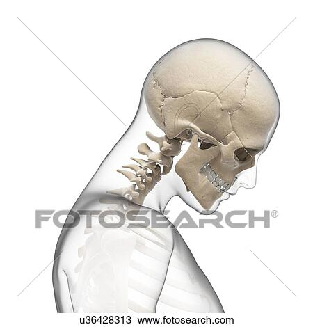 Drawing of Human skull and neck bones, artwork u36428313 - Search ...