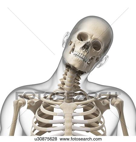 Stock Illustration of Human skull and neck bones, artwork u30875628 ...