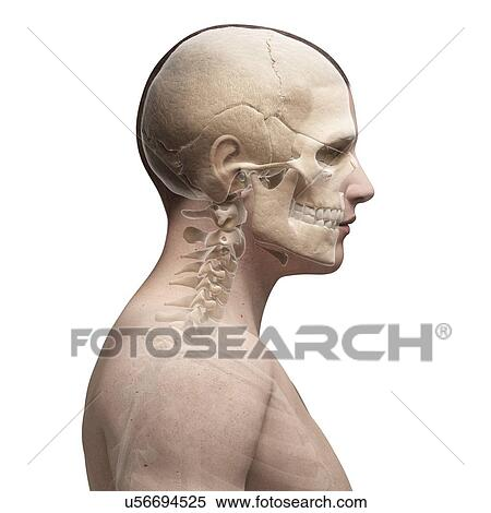 Stock Illustration of Human skull and neck bones, artwork u56694525 ...