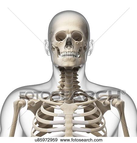 Stock Illustration of Human skull and neck bones, artwork u85972959 ...