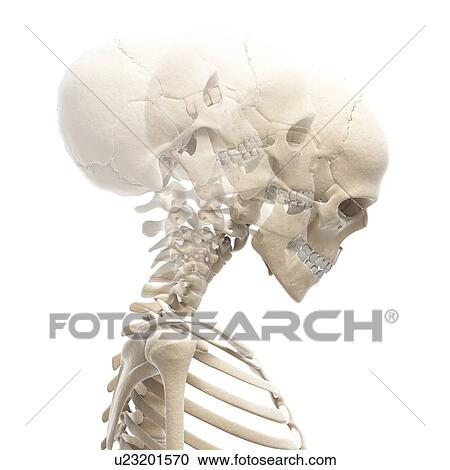 Stock Illustrations of Human skull and neck bones, artwork u23201570 ...