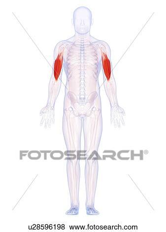 Stock Illustration of Human upper arm muscles, artwork u28596198 ...