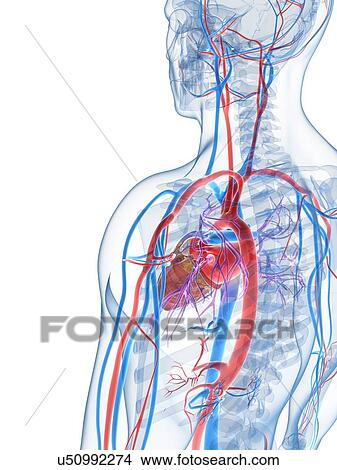 Drawings of Human vascular system, artwork u50992274 - Search Clip ...