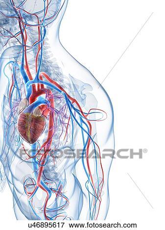 Stock Illustration of Human vascular system, artwork u46895617 ...