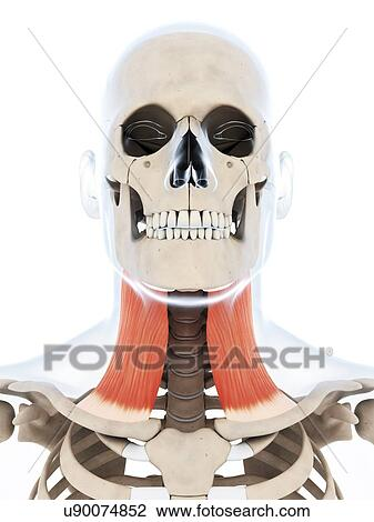 Clip Art - menschlicher hals, muskel, kunstwerk u90074852 - Suche ...