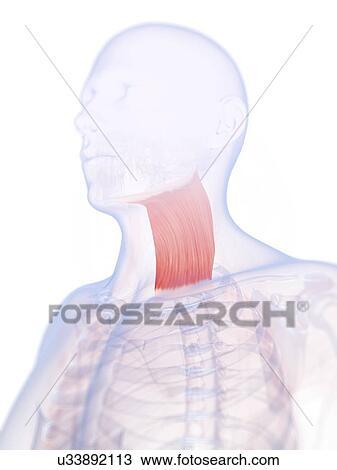 Zeichnung - menschlicher hals, muskel, kunstwerk u33892113 - Suche ...