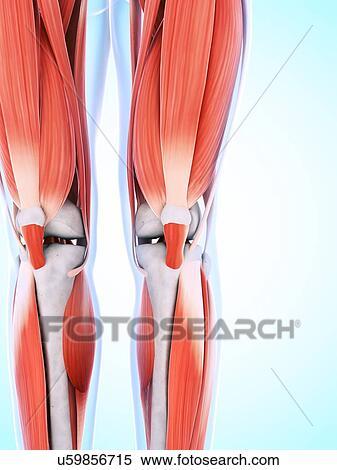 Colección de ilustraciones - pierna humana, y, rodilla, músculos ...