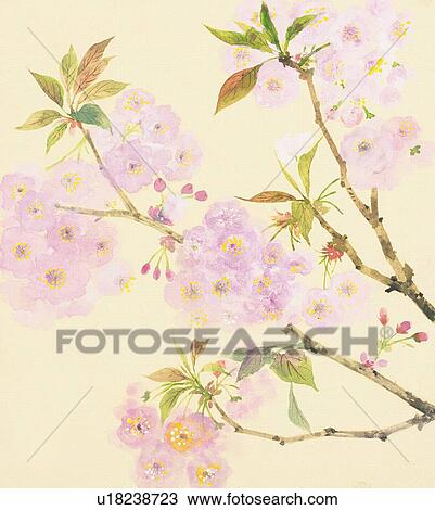 Branche De Cerisier A Fleurs Et Bourgeons Grand Plan Dessin U18238723 Fotosearch