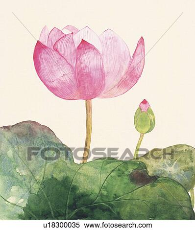 Stock illustration of close up of lotus flower and bud side view close up of lotus flower and bud side view mightylinksfo