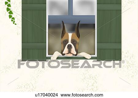 Drawings Of Boxer Looking Outside From Window Front View U17040024