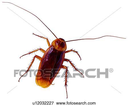 Bild Schadlich Insekten Wurm Wanze Kuchenschabe Wanzen