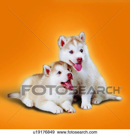 Stock Photograph Of Tame Puppies Portrait Panting Attentive