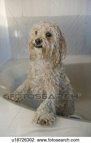 Stock Foto Nasse Weiß Verrührte Rasse Hund In Badewanne