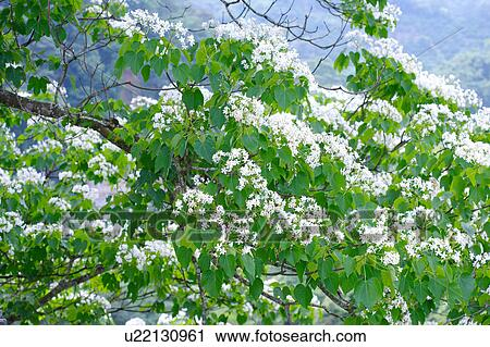 Stock photography of trees with white flowers u22130961 search trees with white flowers mightylinksfo