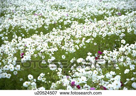 Picture Of Flower Bed Of White Flowers In Meinong Kaohsiung