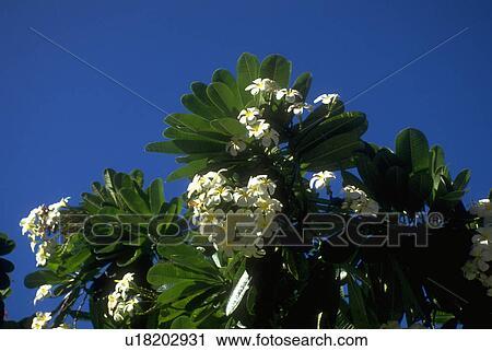 Stock Fotografie - weiß, blumen, duftend, baum, blüten, flora ...