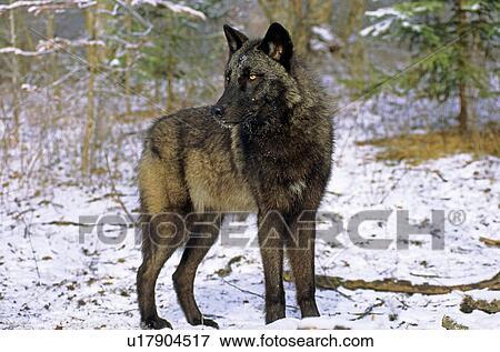 Adulto lupo grigio canis lupus alberta canada. archivio