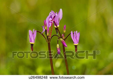 Shooting Star Flowers adorn the Gore Park Garry Oak Meadow, Vancouver Island, British Columbia, Canada.