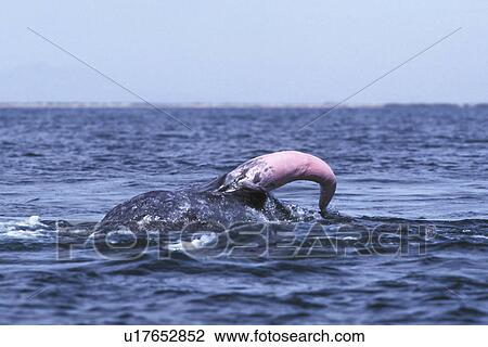 quanto grande è un pene balena