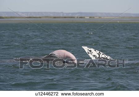 Hvor stort er hvaler penis