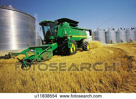 Spring wheat harvest with grain storage bins in the background, near  Dugald, Manitoba, Canada Picture