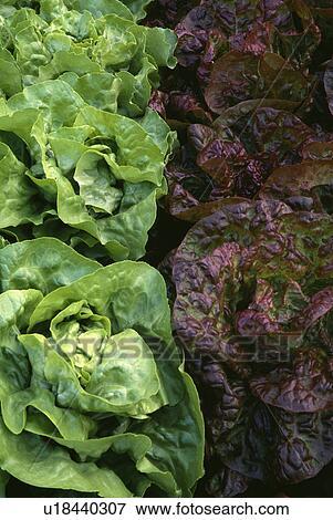 Gemüse Rot Salat Kopfsalat Grün Betriebe Stock Foto