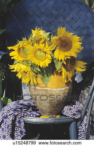 Stock Photograph Of Still Life Of Sunflowers In Vase U15248799
