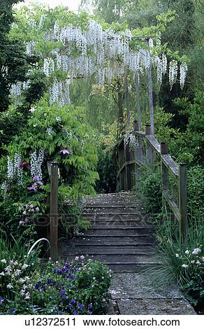 White Wisteria Above Wooden Bridge In Large Country Garden In