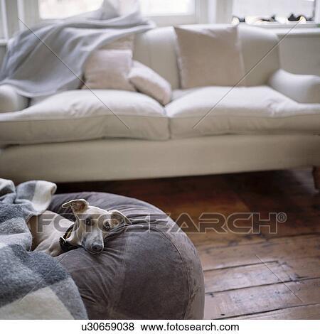 Whippet, su, grigio, pavimento, cuscino, in, soggiorno, con, crema ...