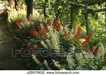 Red And White Perennial Lobelia In Flowering Borders In Country