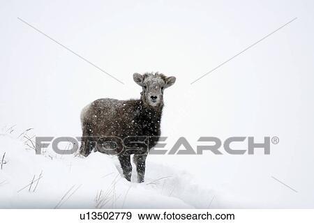 Colección de fotografía - bebé, montaña rocosa, ovejas de cimarrón ...