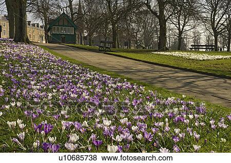 Pictures of england north yorkshire harrogate a carpet of spring england north yorkshire harrogate a carpet of spring flowers in bloom at the stray in harrogate mightylinksfo