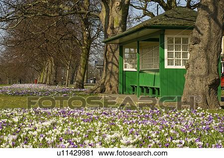 Stock photography of england north yorkshire harrogate a carpet england north yorkshire harrogate a carpet of spring flowers in bloom by a shelter at the stray in harrogate mightylinksfo