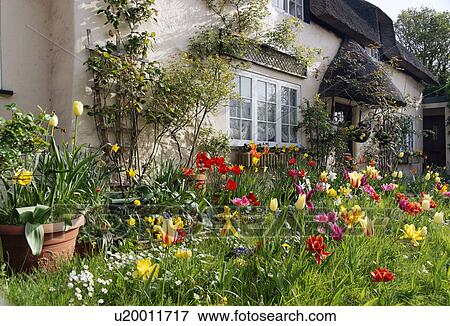 Foto - inglaterra, dorset, oeste, lulworth, tulipanes, en el flor ...
