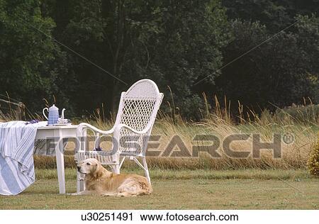 Witte Rieten Stoel : Stock fotografie gouden retriever hond liggende naast witte